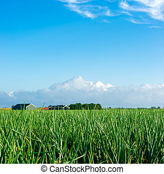 Field with onions