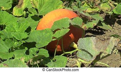 Field with organic pumpkin Cucurbita pepo bio crops before...