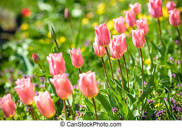 Field with pink tulips in early morning spring sunlight