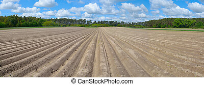 Field with planted potatoes. Beautiful cloudy sky