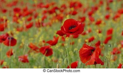 Field With Poppies As Symbol Of Sorrow - Focus of several...