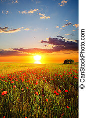 field with poppies - field with green grass and red poppies ...