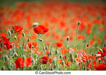 field with poppies - poppy field, Backlit poppies in a...