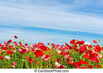 field with poppy's