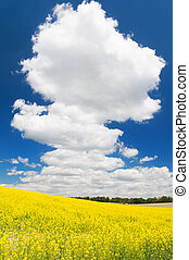 Field with rapeseed against blue sky