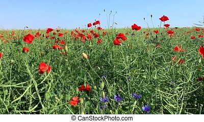 field with red poppies and blue cornflowers waving in the...