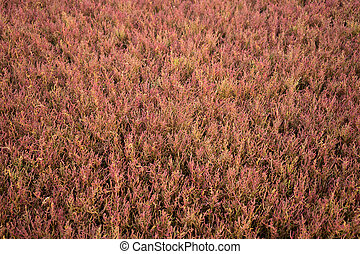 Field with red salicornia europa on delta of river evros, Greece