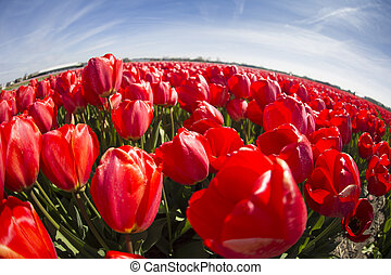 field with red tulips