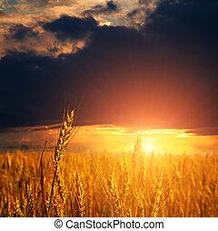 field with ripe wheat ears