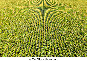 Field with rows of corn plants
