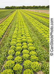Field with rows of grown lettuce heads