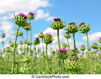 Field with Silybum marianum (Milk Thistle) , Medical plants....