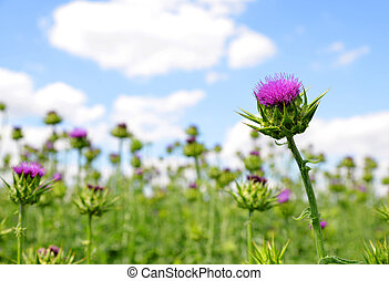 Field with Silybum marianum (Milk Thistle) , Medical plants....