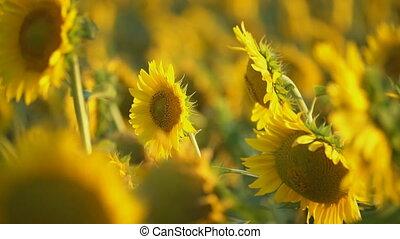 sunflower flowers close-up