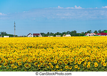 Field with sunflower in front of village