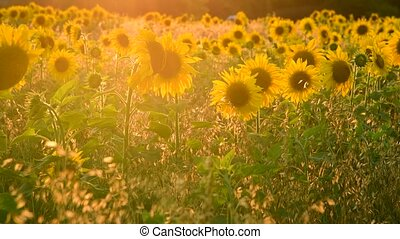 Field with sunflower In rays of setting sun - Field with...