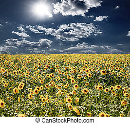 Field with sunflowers and the blue sky