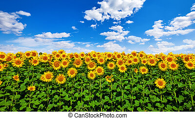 Field with sunflowers flowers and blue sky