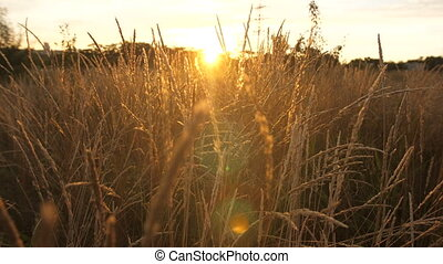 Field with tall grass at sunset - Sunbeams shine through the...