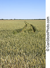 Field with tractor traces in wheat