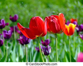 Field with two tulips