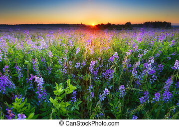 Field with violet flowers at sunrise