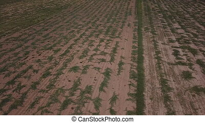 field with watermelons from a height - field with...
