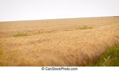 Field with wheat against the background of the sky