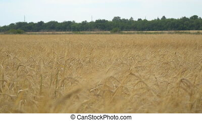 Field with wheat or rye. On the edge of field is worth wood. Selective focus