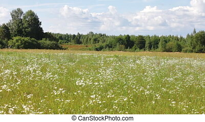 field with white daisies under sunny sky