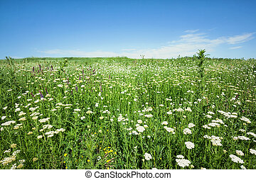 Field with white flowers under a blue sky