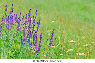 field with wild flowers of lavender