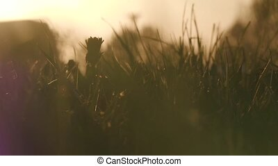 field with wild grass and dandelions at sunset.