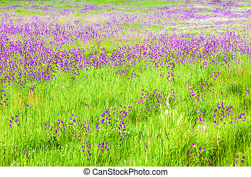 Field With Wild Purple Flowers