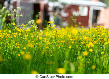Field with yellow buttercup flowers