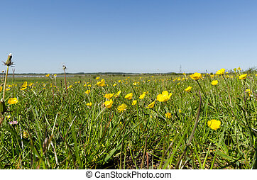 Field with yellow Buttercups closeup by springtime
