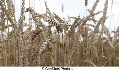 Field with yellow ears of rye and millet - Field with yellow...
