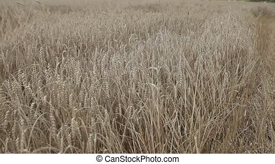 Field with yellow ears of rye and millet