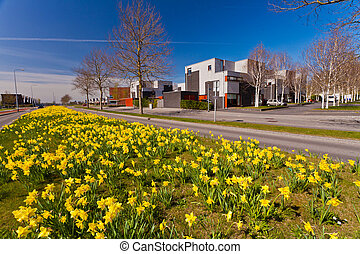 Field with yellow narcissus flowers