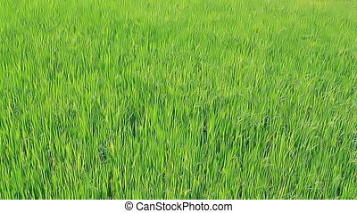 Field with young green sprouts of rice
