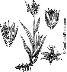 Field Wood-rush or Luzula campestris vintage engraving