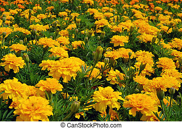 Field yellow flowers in garden for background