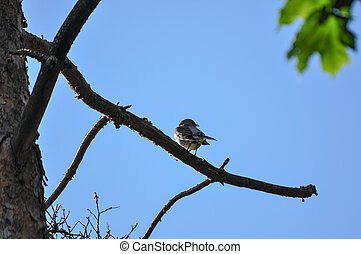 Fieldfare bird on a branch a spring day against the sun