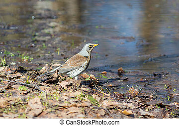 fieldfare near the water