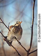 fieldfare perched on a branch
