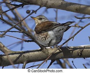 Fieldfare Thrush sitting on a tree branch-2.