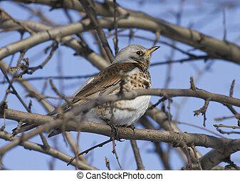 Fieldfare Thrush sitting on a tree branch.
