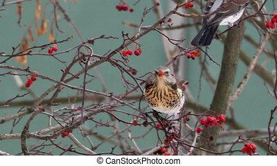 Fieldfare Turdus pilaris eating frozen rowan tree berries....