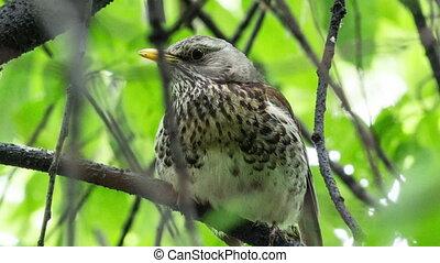 Fieldfare, (Turdus pilaris) - Fieldfare, (Turdus pilaris) is...