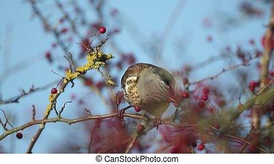 Fieldfare, Turdus pilaris, single bird on hawthorn bush with...